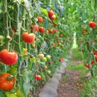 Ripe Tomato In A Greenhouse, Ready For Picking