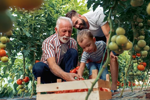 Grandfather,son And Grandson Working In Greenhouse,picking Tomatoes.